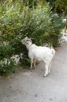 Привокзальный козел